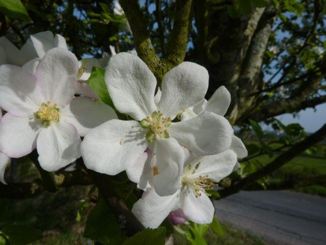 fleur-de-pommier_cenauv